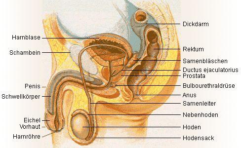 Anatomie der Geschlechtsteile beim Mann