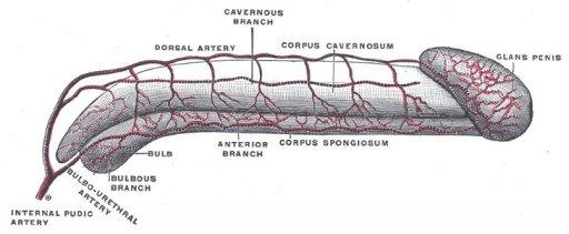 Anatomie der Penis-Gefäße
